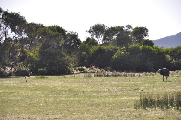 Überraschende Sichtung von Emus...
