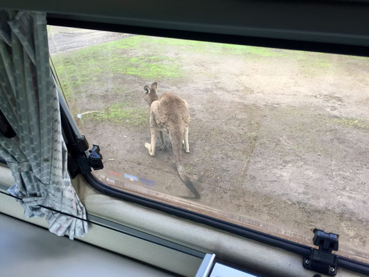 ...und lässt uns inmitten einer reichen Tierwelt aufwachen. Während auf der einen Seite unseres VW-Busss ein Känguru am Grasen war...