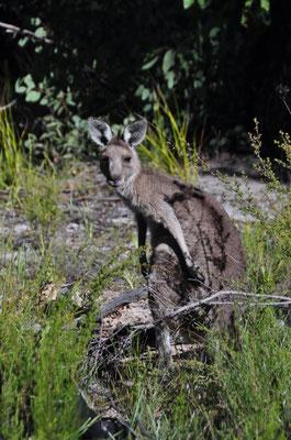 Endlich trafen wir wieder einmal auf lebende Kängurus.