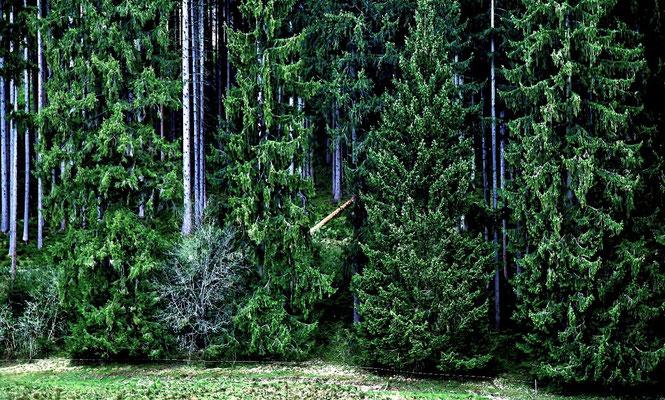 Da liegt er, der ausgesuchte und gefällte Baum ! Vier Wochen lag er geschält zum Trocknen im Wald.