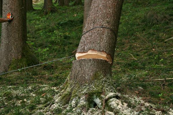 ...Baum kippt...