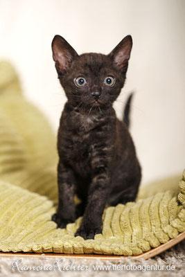 Kitten Iset's Supurr Florens, URX, black, Züchter: Björn Jänicke