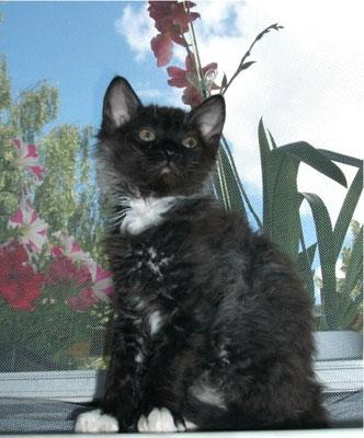 Kitten Iset's Supurr Darian, URL, black-white, Züchter: Björn Jänicke