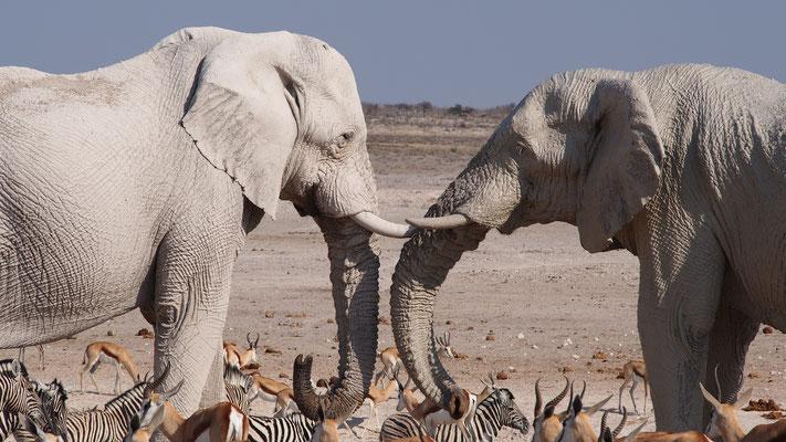 Eléphants ; Etosha ; Namibie. Culture Maxime Lelièvre