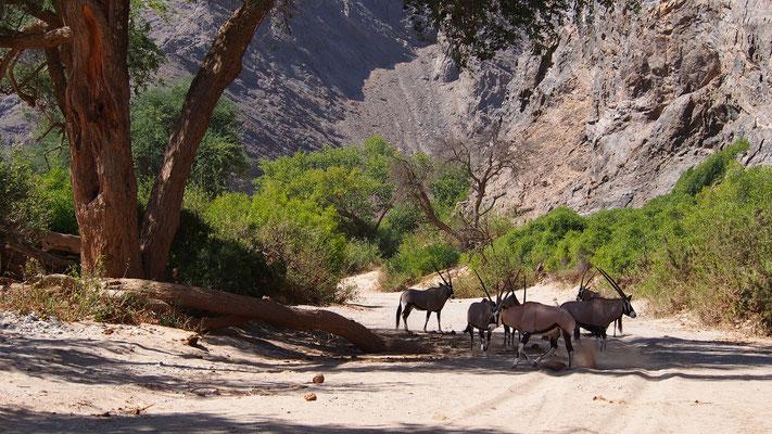 Oryx ; Hoanib ; Namibie. Nature Maxime Lelièvre