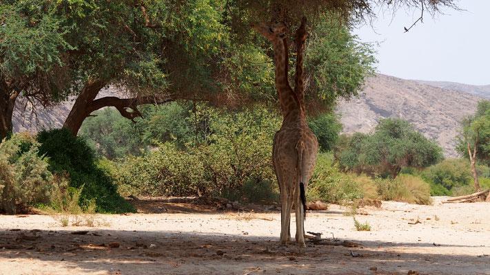 Girafes ; Hoanib ; Namibie. Nature Maxime Lelièvre