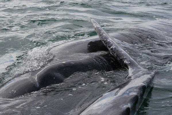 Baleine grise ; Basse-Californie ; Mexique. Culture Maxime Lelièvre