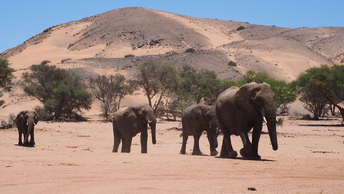 Eléphants du désert  ; Huab ; Namibie. Culture Maxime Lelièvre