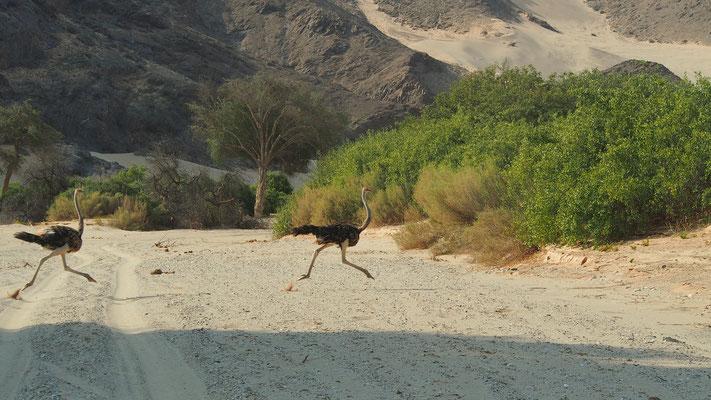 Autruches ; Hoanib ; Namibie. Nature Maxime Lelièvre