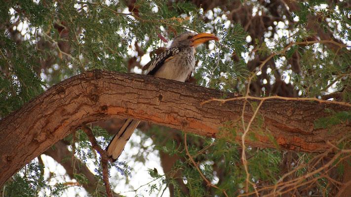 Calao à bec jaune ; Hoanib ; Namibie. Nature Maxime Lelièvre