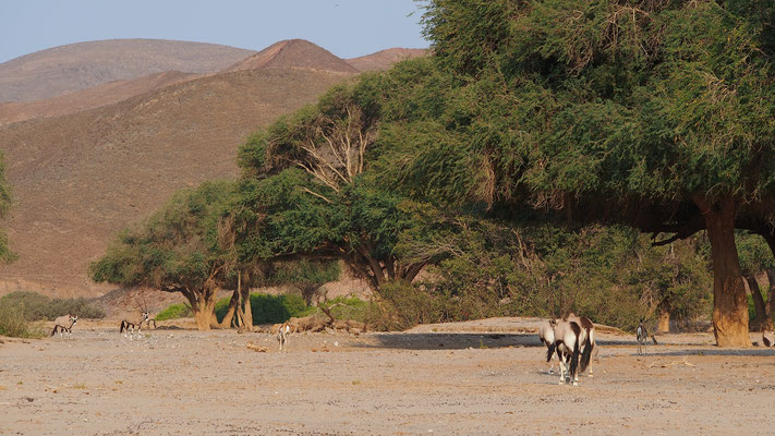 Oryx et springboks ; Hoanib ; Namibie. Nature Maxime Lelièvre