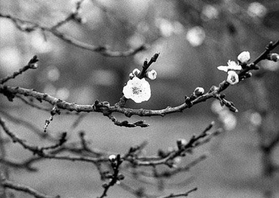 © Fleur d'abricotier