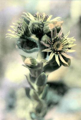 © Fleur de chardon
