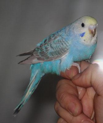 Ringnr. 6 mit 32 Tagen - eher Henne und aufgrund der dunklen Flügelzeichnung wohl ein Grauflügel - daher leider kein Rainbow