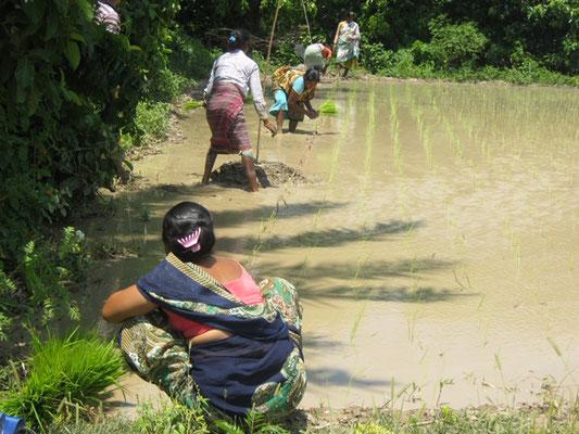 Plantation de paddy en parcelle de démonstration