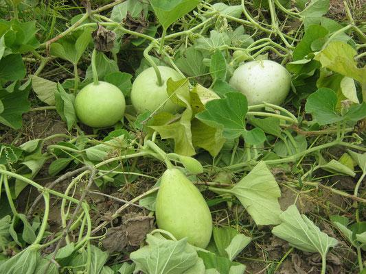 Vegitable in kitech garden