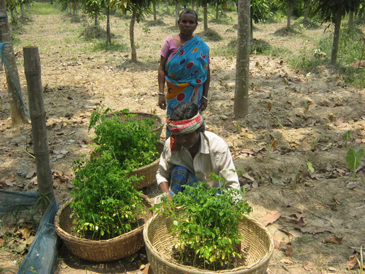 Moringa seed distribution