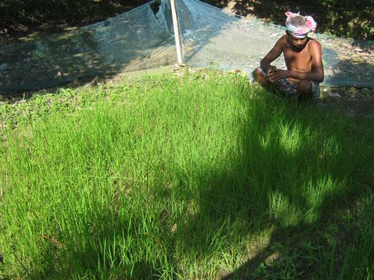 Plantation de riz à la recherche de pluie