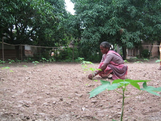 RCHSS put a special emphasize to encourage tribal families to create their own papaya garden which will give them vegetable and some money by selling surplus