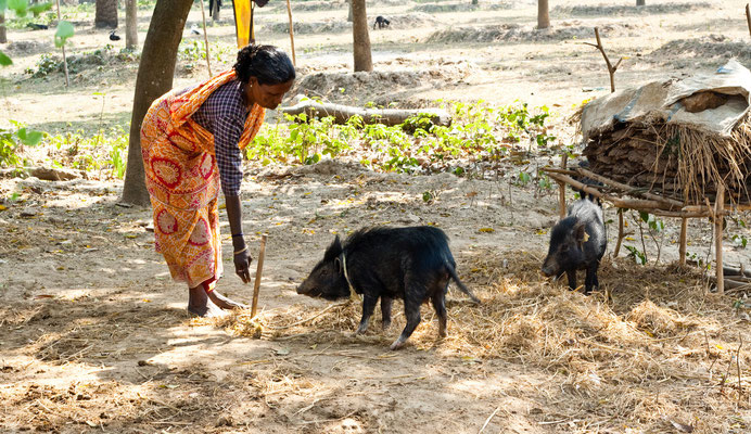 Pig to tribal beneficiaries