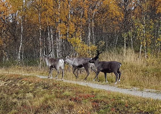 drei Rentiere am Wegesrand