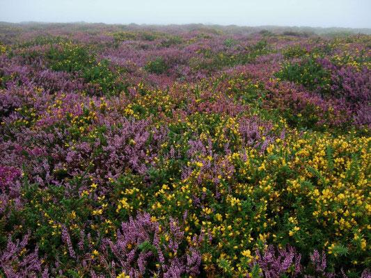 blühende Heide in Cornwall