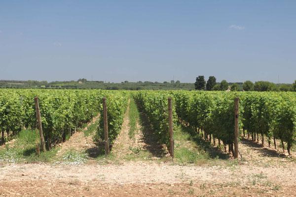 Weinreben Masseria Altemura