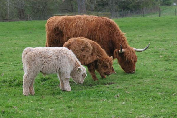 Highland Rind mit Nachwuchs