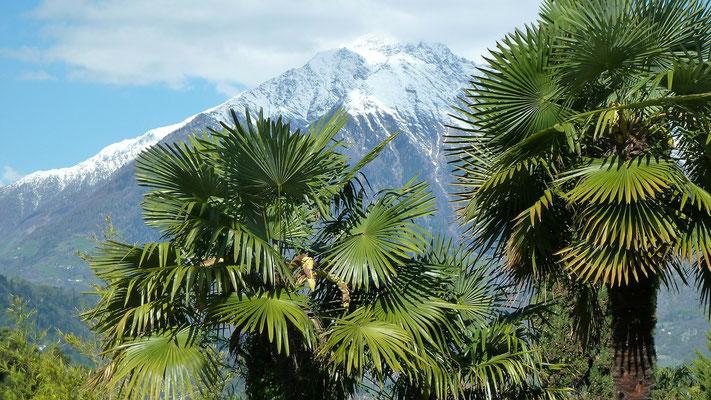 Palmen bei Meran
