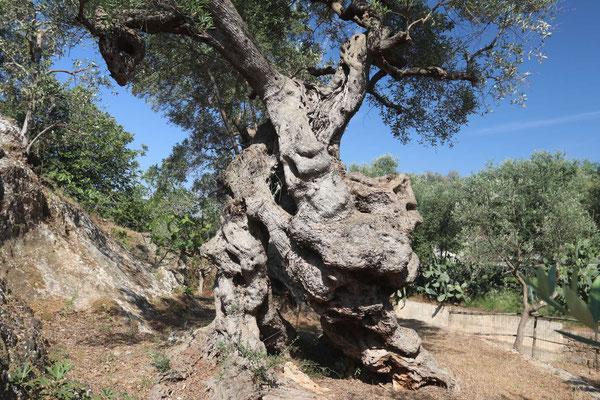 Hunderte Jahre alter Olivenbaum