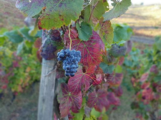 Weinrebe im Douro-Tal