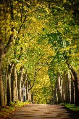 Die Lindenallee im Herbst.