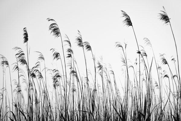 Gräser am Hammeufer