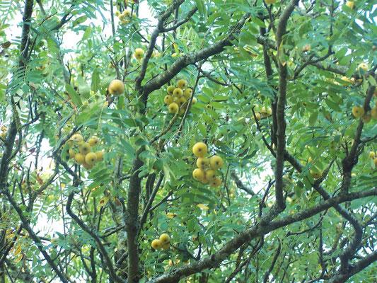 Le Cormier, arbre produisant des cormes.