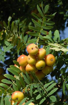 Les Cormes, fruit du Cormier.
