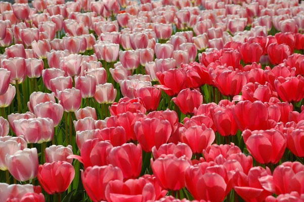 Tulpen in den Neiderlanden