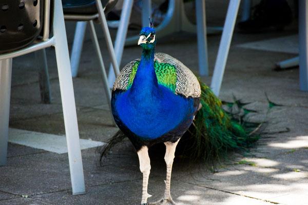 Blauer Pfau(Pavo cristatus) im Tierpark Lange Erlen