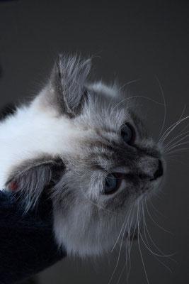 Neva Masquarade Katze in der Farbe Blue Tabby Point