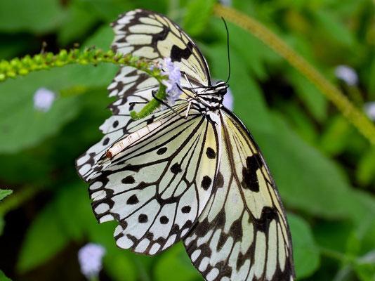 Weiße Baumnymphe im Papiliorama Kerzers