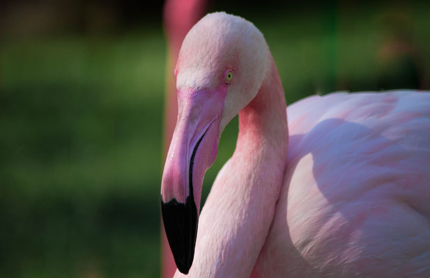 Flamingo, Tierpark Dählhölzli, April 2017