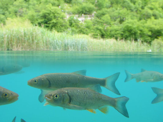 The Plitvice Lakes are home to many fish