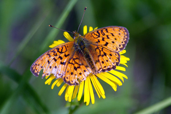 Vorher: Dieses Schmetterlingsweibchen wurde gerade begattet und saß daher noch eine kleine Weile still. Bei der Paarung wurde der linke Flügel stark in Mitleidenschaft gezogen. Was möglich ist zeigt das nächste Bild.