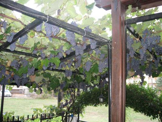 Die Weintrauben sind fast reif