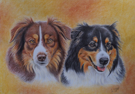 Zwei Australian Shepherds, A3