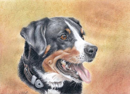 Appenzelller Sennenhund, A4