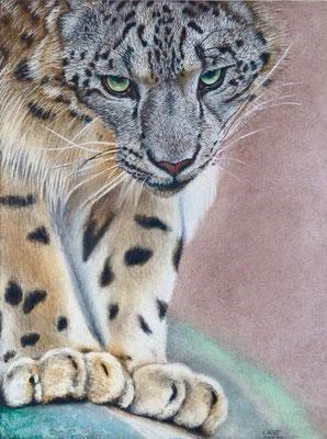 Schneeleopard, Pastell auf Canson Zeichenpapier, A3, Vorlage wildlifereferencephotos.com