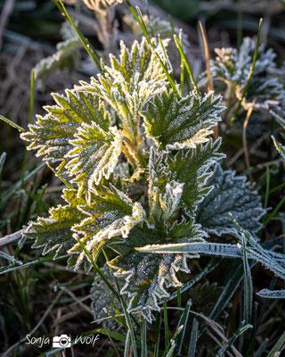 Frost auf jungen Brennnesseln