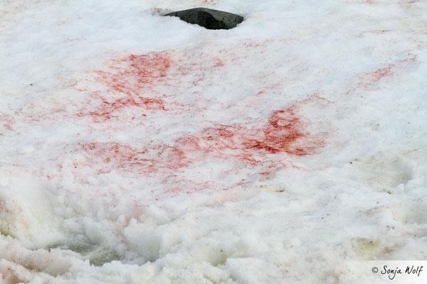 Rote Algen im Schnee