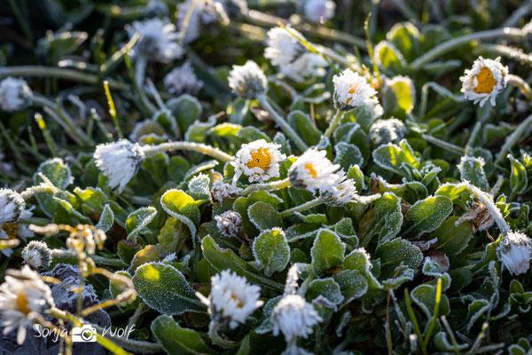 Gänseblümchen mit Frost