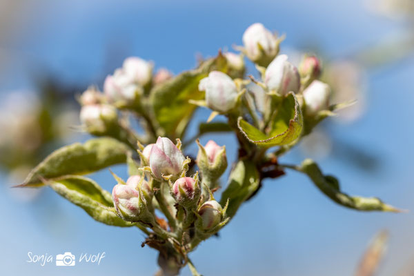 Obstbaum-Knospen